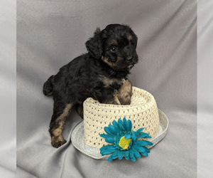 Aussie-Poo Puppy for sale in SYRACUSE, IN, USA