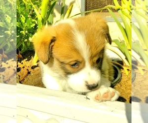 Pembroke Welsh Corgi Puppy for sale in JURUPA VALLEY, CA, USA