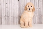 Goldendoodle Puppy For Sale in MOUNT VERNON, OH