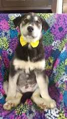 Goberian Dog For Adoption in QUARRYVILLE, PA, USA