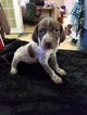 German Shorthaired Pointer Puppy For Sale in SOMERSET, TX,