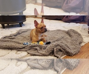 French Bulldog Puppy for sale in FARMINGTON, MO, USA
