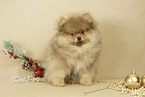 Pomeranian Puppy For Sale in DAMASCUS, MD,