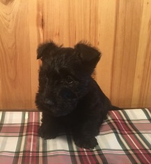 Scottish Terrier Puppy For Sale in THATCHER, ID