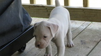 Boxer Puppy For Sale in SORRENTO, LA, USA