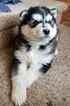 Alaskan Malamute Puppy For Sale in POWELL, Wyoming,
