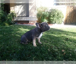 French Bulldog Puppy for Sale in SIMI VALLEY, California USA