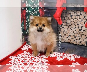 Pomeranian Dog for Adoption in LAS VEGAS, Nevada USA