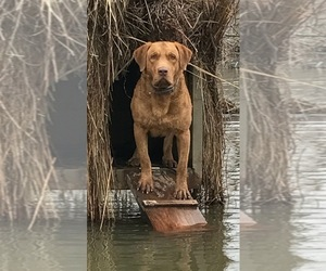 Father of the Chesapeake Bay Retriever puppies born on 06/01/2019