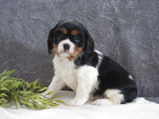 Cavalier King Charles Spaniel Puppy For Sale in MYERSTOWN, PA, USA
