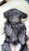 Goldendoodle Puppy For Sale in BUFFALO, NY