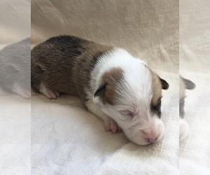 Pembroke Welsh Corgi Puppy for Sale in HENRICO, Virginia USA