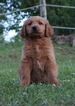 Goldendoodle Puppy For Sale in WARSAW, Indiana,