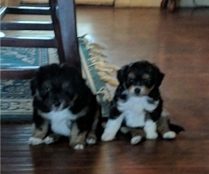 Australian Shepherd-Poodle (Miniature) Mix Puppy for Sale in MIDLAND CITY, Alabama USA
