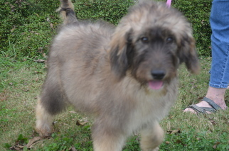 Goldendoodle Puppy For Sale in COVINGTON, GA