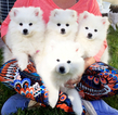 American Eskimo Dog (Toy) Puppy For Sale in SANDY, UT, USA