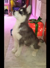 Alaskan Malamute Puppy For Sale in INDIANAPOLIS, IN, USA