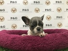 French Bulldog Puppy For Sale in TEMPLE CITY, CA,
