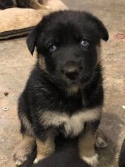 German Shepherd Dog-Siberian Husky Mix Puppy For Sale in GEORGETOWN, KY, USA