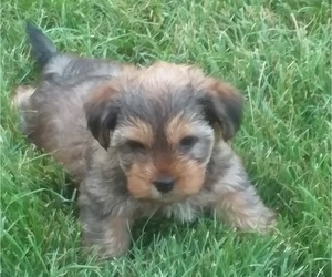 Yorkshire Terrier Puppy for Sale in SYRACUSE, Indiana USA