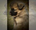 Small Photo #4 Norwegian Elkhound Puppy For Sale in CHATFIELD, MN, USA