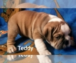Small #17 English Bulldog