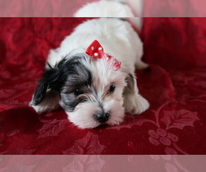 Coton de Tulear Puppy for sale in CHICAGO, IL, USA