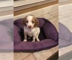 Puppy 3 Brittany