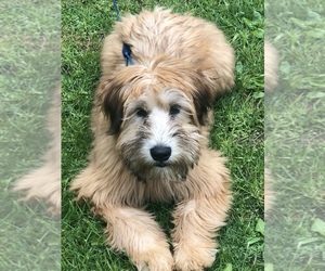 Soft Coated Wheaten Terrier Puppy for sale in OAKVILLE, CT, USA