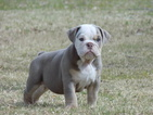 Bulldog Puppy For Sale in EL PASO, TX