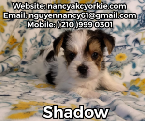 Yorkshire Terrier Puppy for sale in SAN ANTONIO, TX, USA