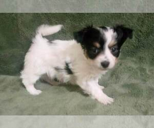 Havallon Puppy for sale in STATEN ISLAND, NY, USA