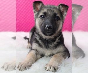 Medium German Shepherd Dog