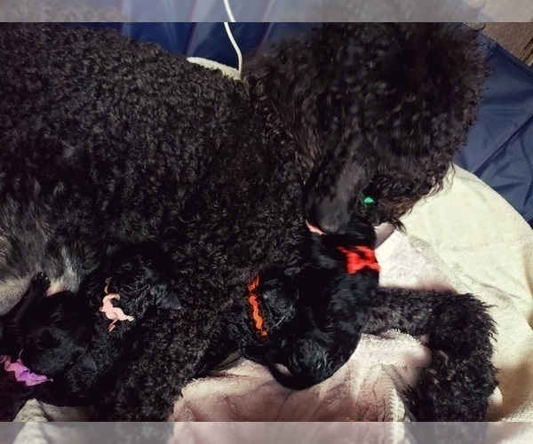 Medium Photo #11 Poodle (Standard) Puppy For Sale in DYERSBURG, TN, USA