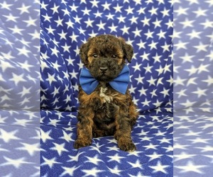 Poodle (Miniature) Dog for Adoption in LINCOLN UNIV, Pennsylvania USA