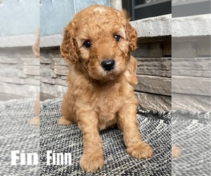 Goldendoodle-Poodle (Toy) Mix Puppy for Sale in MIDDLEBURY, Indiana USA