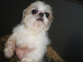 View Ad Shih Tzu Puppy For Sale Georgia Carrollton Usa