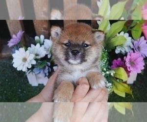 Shiba Inu Dog for Adoption in SAN DIEGO, California USA