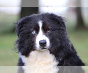 Mother of the Australian Shepherd puppies born on 02/25/2020