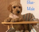 Poodle (Standard) Puppy For Sale in SOMERSET, KY, USA