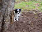 Australian Shepherd Puppy For Sale in PRINEVILLE, OR, USA