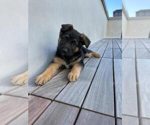 German Shepherd Dog Puppy for Sale in SAN FRANCISCO, California USA