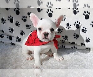 French Bulldog Dog for Adoption in LONGMONT, Colorado USA