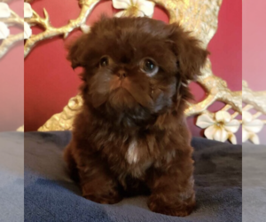 Father of the Shih Tzu puppies born on 04/19/2019