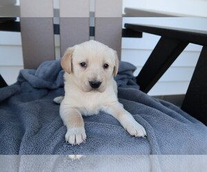 English Cream Golden Retriever Puppy for sale in INDIANAPOLIS, IN, USA