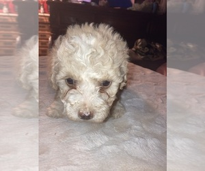 Poodle (Miniature) Puppy for sale in LINDSAY, CA, USA