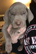 Weimaraner Puppy For Sale in DOW, Illinois,
