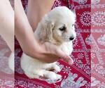 Puppy 2 English Cream Golden Retriever-Poodle (Miniature) Mix
