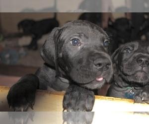 Great Dane Puppy for sale in KALAMA, WA, USA