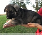 Small #42 German Shepherd Dog